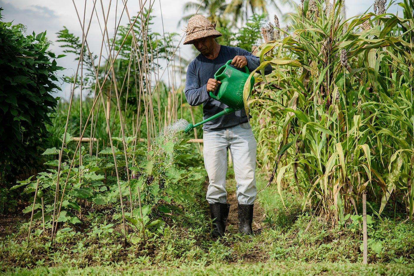 Gardener watering permaculture garden