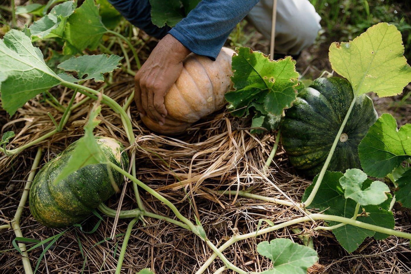 Harvesting pumpkins in permaculture garden